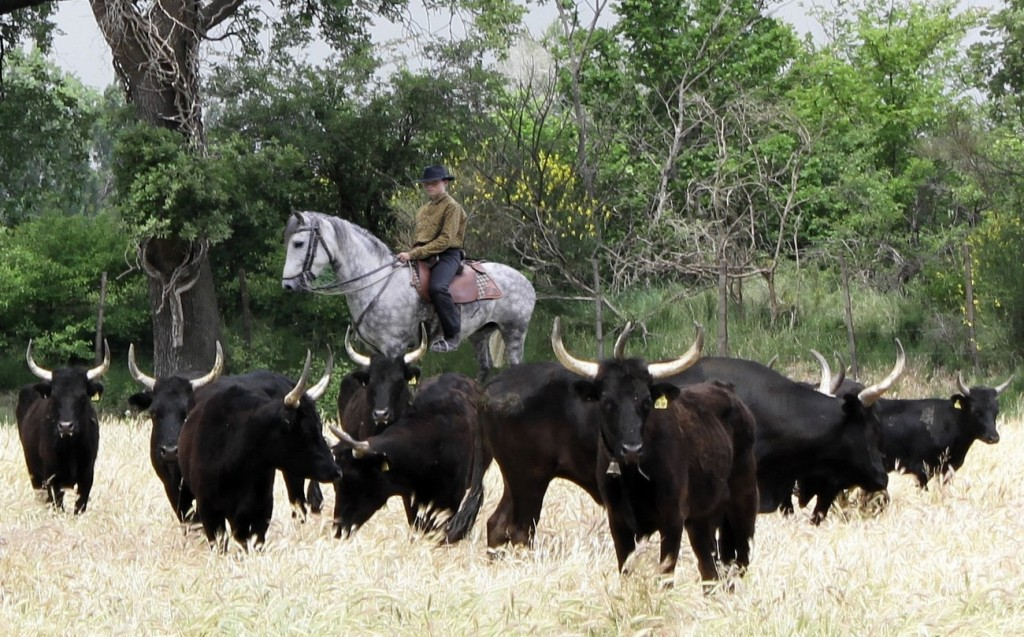 Guardian à cheval et taureaux de Camargue